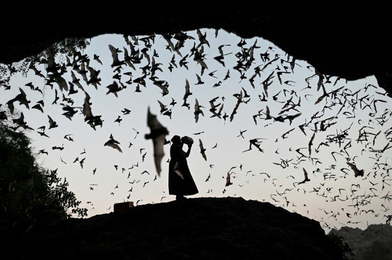 Over the last century, 40 species of bat have relocated to southern China, Laos and Myanmar — the area where genetic analysis suggests the virus known as SARS-CoV-2 first appeared. (AFP File Photo)
