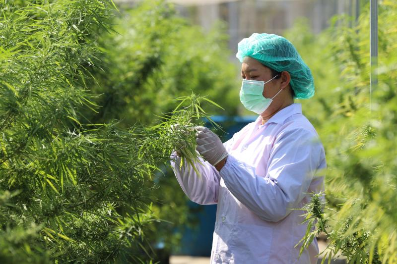 A worker examines cannabis plants being grown in Prachin Buri province, to be used in dishes at the Abhaibhubejhr Spa Cuisine restaurant in Prachin Buri, Jan 15, 2021. (Chao Phraya Abhaibhubejhr Hospital / AFP photo)