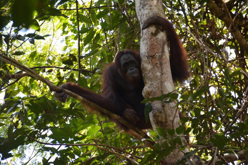 Nenuah, a 19-year-old orangutan, sits in a tree after being released at Bukit Batikap Protection Forest in Murung Raya regency, Central Kalimantan province, Indonesia, Feb 16, 2021 (Courtesy of Borneo Orangutan Survival Foundation (BOSF)/Handout via REUTERS)