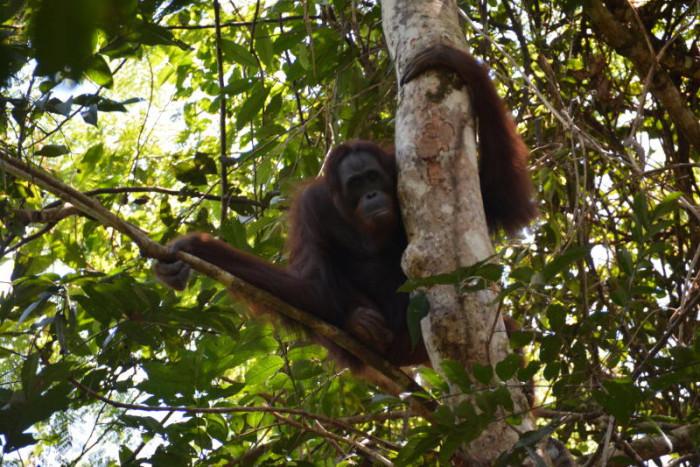 10 rescued orangutans returned to wild in Indonesia
