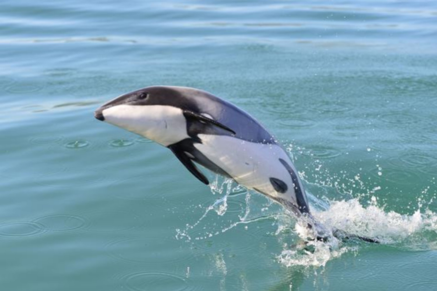 Drones using AI to track rare Maui dolphins