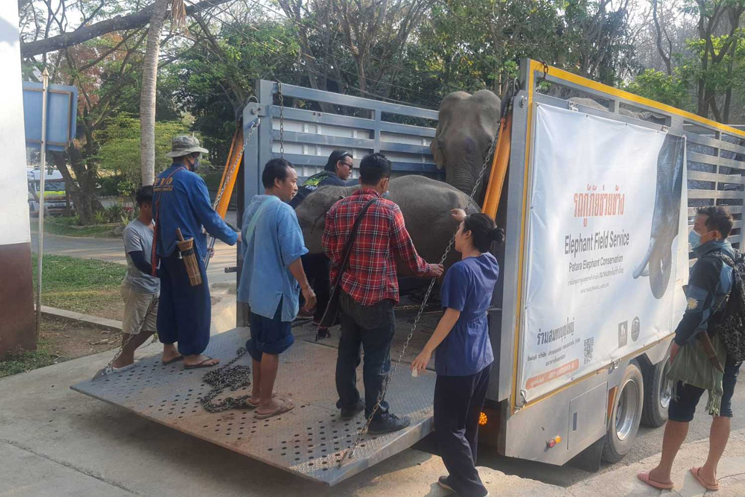 Three of the seven poisoned elephants arrive at the Elephant Hospital in Lampang for urgent treatment, after paraquat contaminated grass at a border village in Omkoi district, Chiang Mai. (Photo: Phanumet Tanraksa)