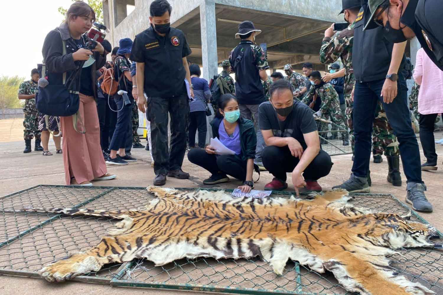Officials of the Department of Natural Parks, Wildlife and Plant Conservation examine a tiger skin at Mukda Tiger Park & Farm in Mukdahan province. (Photo from the Department of Natural Parks, Wildlife and Plant Conservation.)