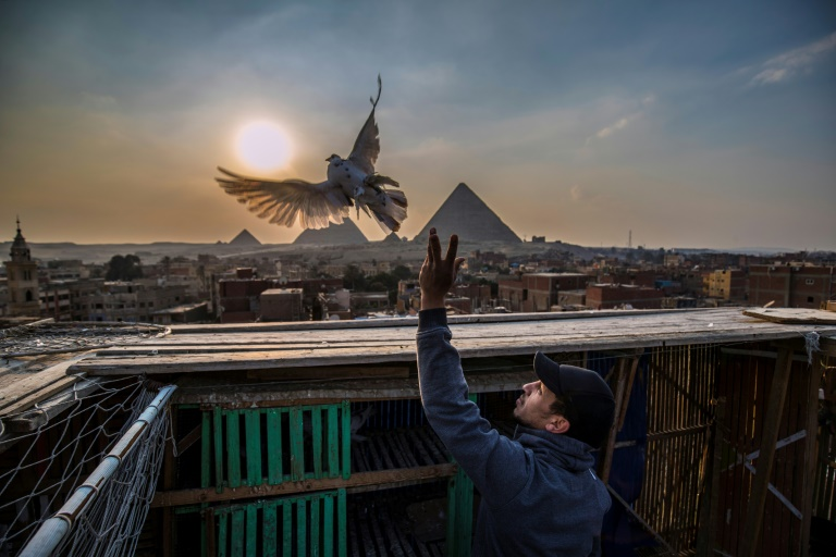 An Egyptian pigeon fancier releases one of his pigeons from its coop against the backdrop of the Giza pyramids