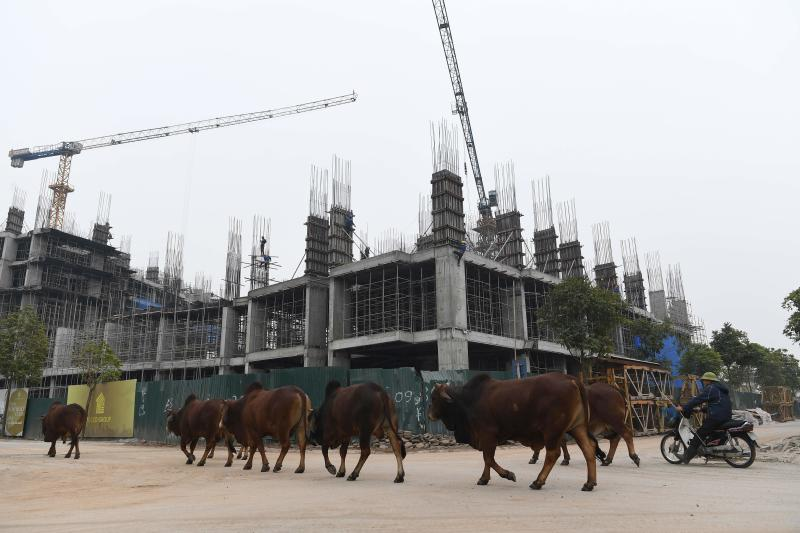 Cows walk past a construction site in Hanoi on Jan 6, 2021. (AFP file photo)