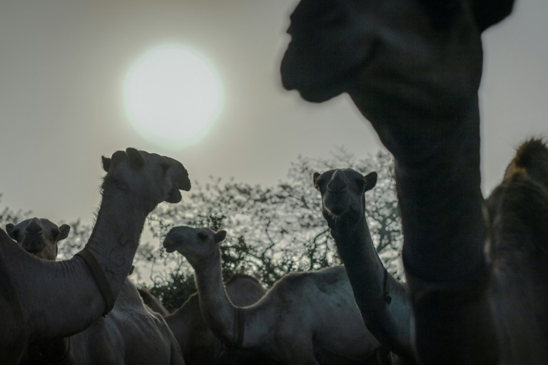 Camels stand in their pens as they wait to be released to pasture at the International Livestock Research Institute (ILRI) ranch
