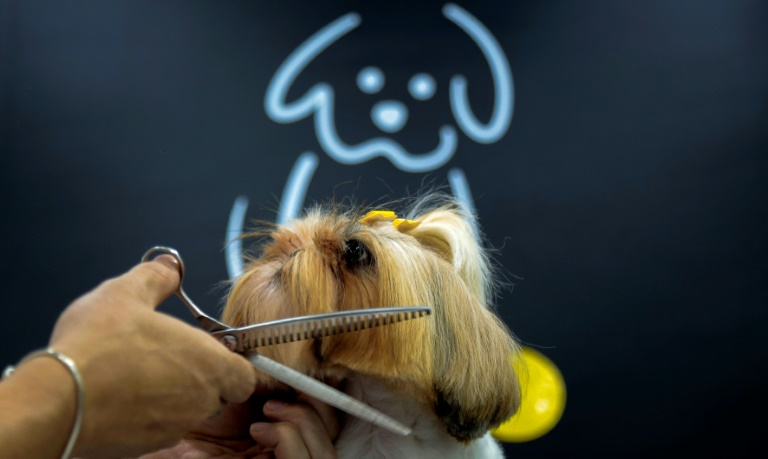 Stylist Luiz Renato grooms Shih Tzu at a pet shop in Sao Paulo, Brazil