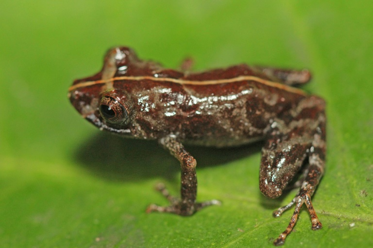 New Peruvian frog leaps into amphibian species ledger