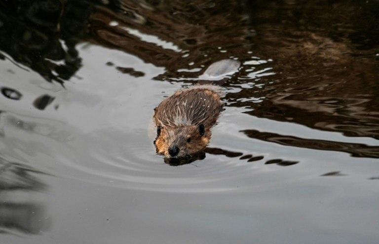 Beavers introduced by humans threaten Patagonian forest