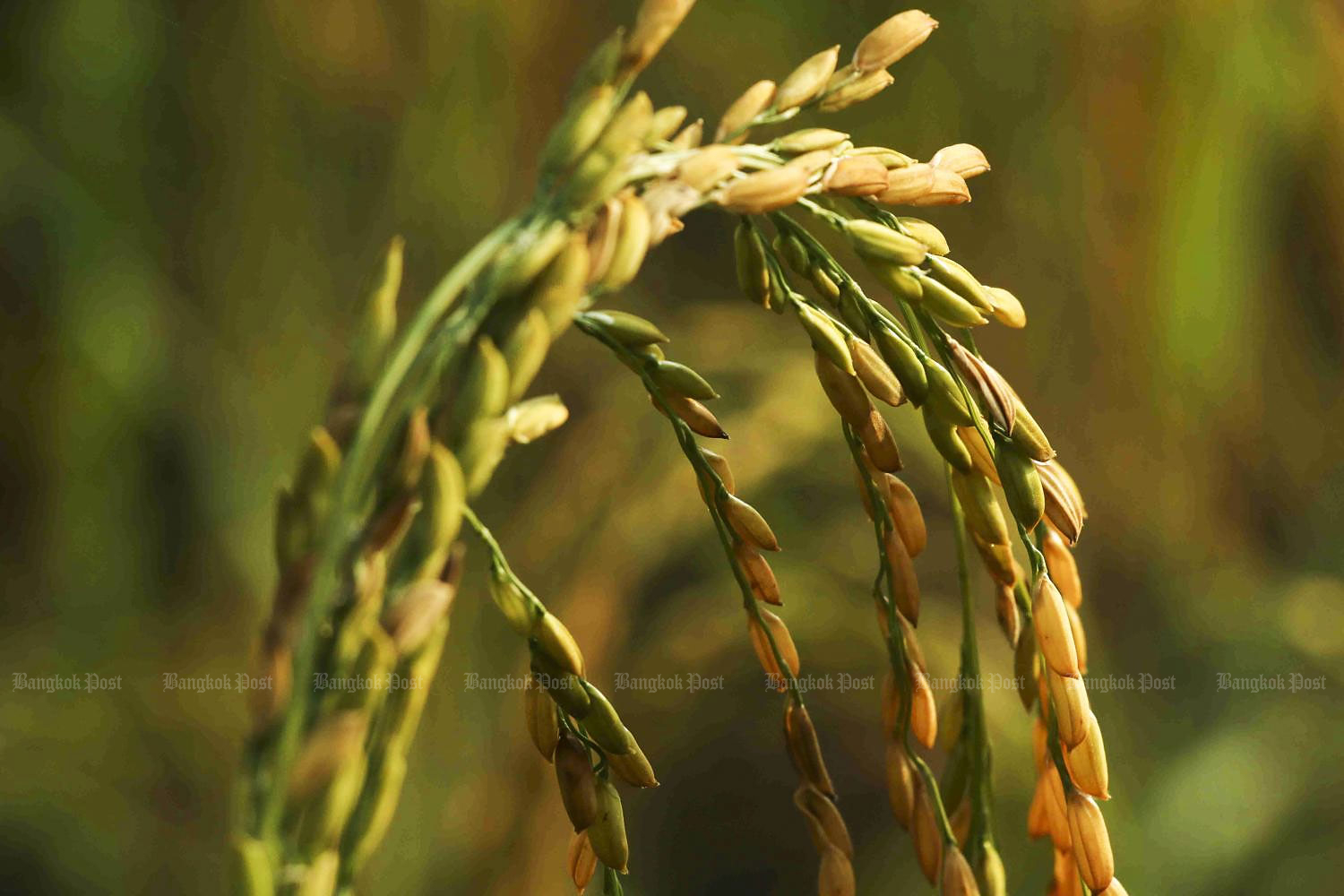 Thai rice exports currently face fierce competition from other countries.