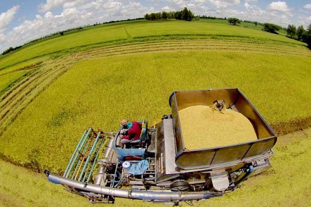 Rice is harvested in a field in Phitsanulok province. (Photo: Taweechai Tawatpakorn)