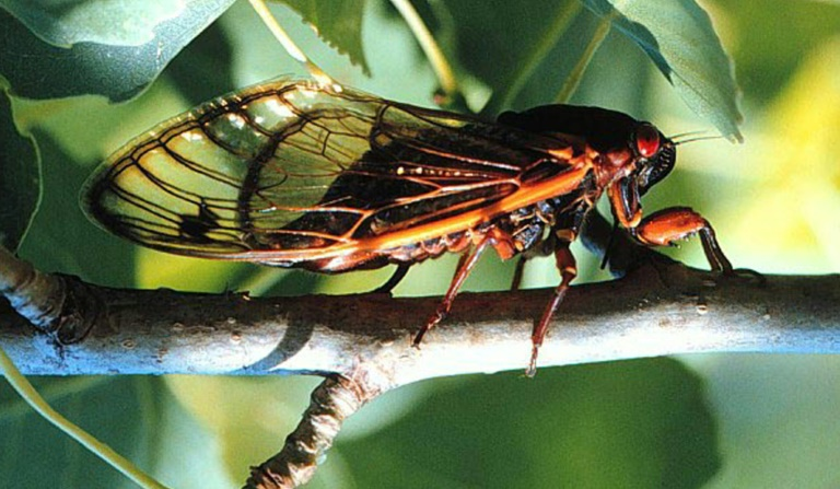 US braces for billions of cicadas to emerge after 17 years underground
