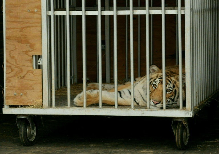 Bengal tiger found unharmed after week missing in Texas