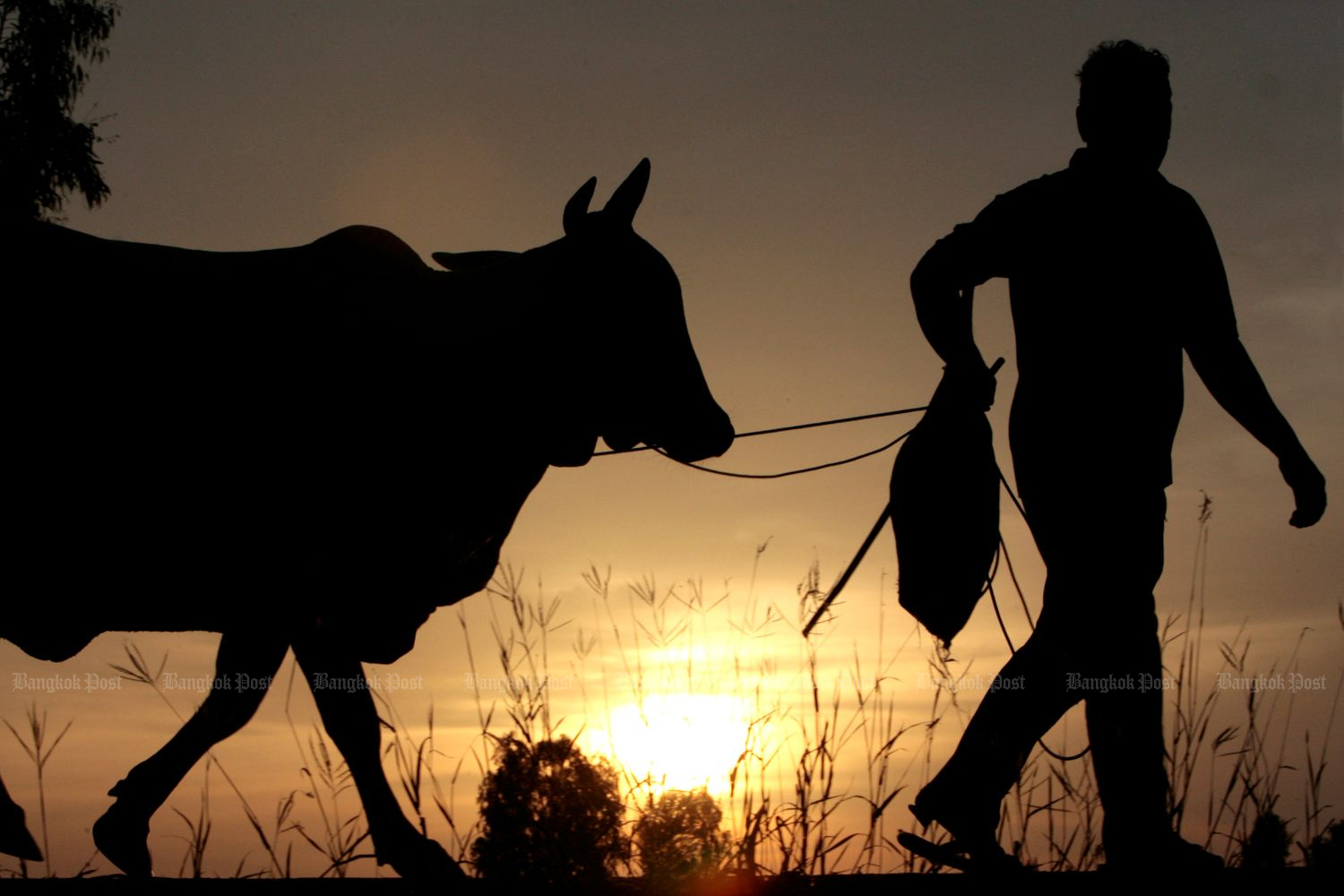 A farmer in Roi Et walks his cattle back home as the sun sets on August 14, 2007. (Reuters file photo)