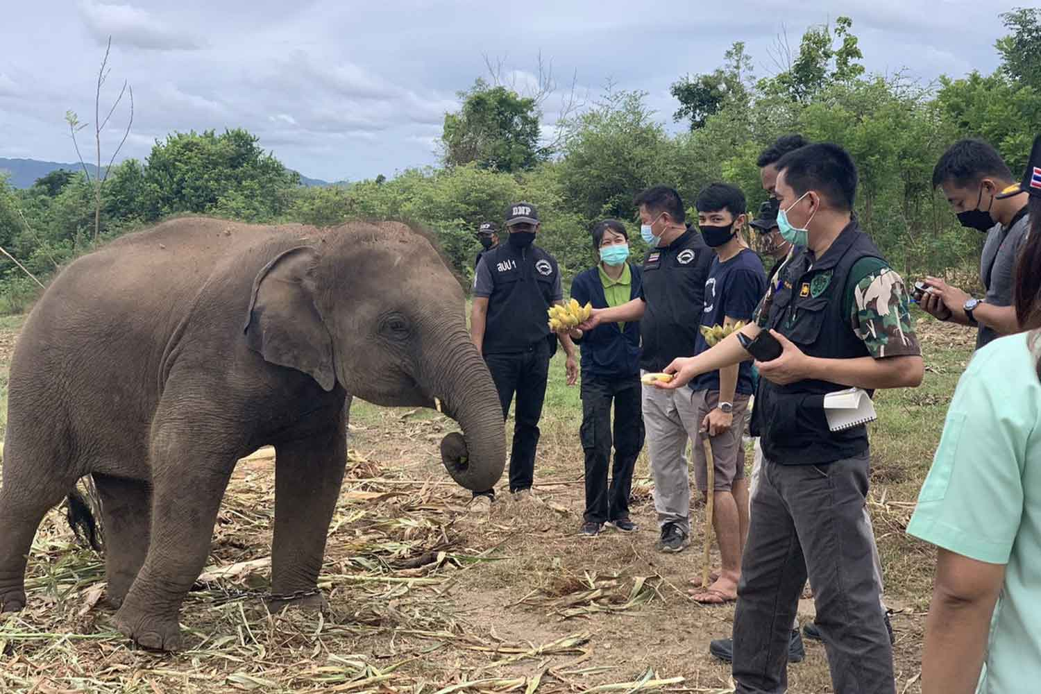 Park officials feed the young elephant as they impound it, at Wang Chan elephant camp in Muang district of Kanchanaburi on Thursday. Officials suspect the animal was caught in the wild and sold to the camp. (Photo: Piyarat Chongcharoen)
