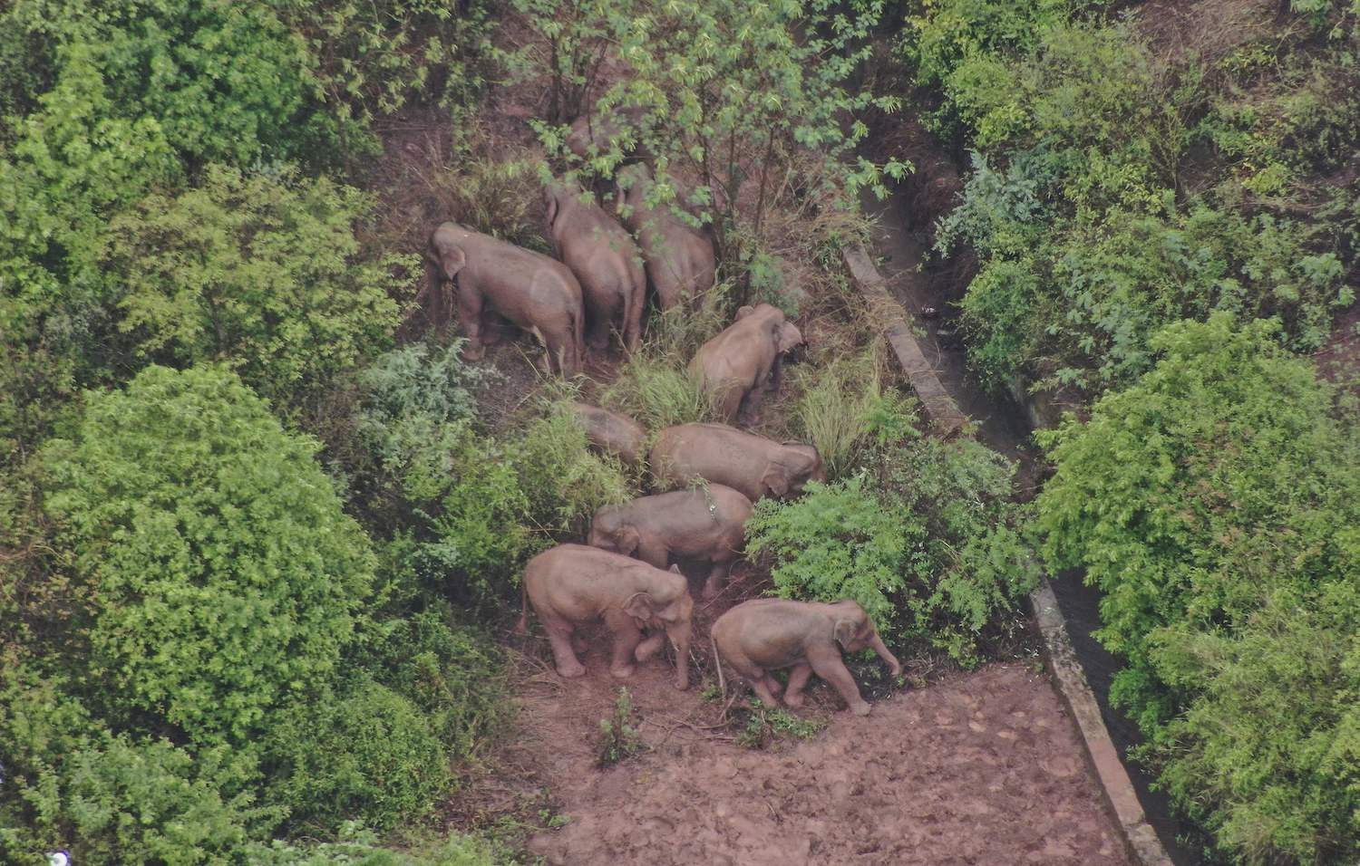 A photo released on Friday by Yunnan authorities shows part of a herd that has wandered 500 kilometres north from their natural habitat, foraging in a forest in Yimen county in the southwestern Chinese province of Yunnan. (Handout Photo from Yunnan Provincial Command of the Safety Precautions of the Migrating Asian Elephant via AFP)