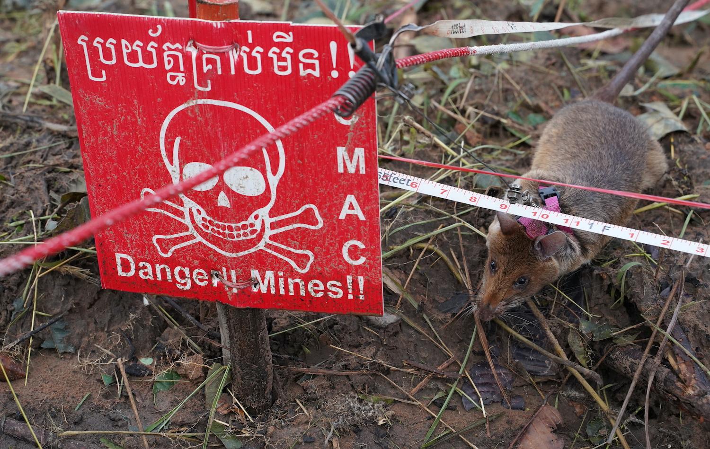 'Hero rats' ready for demining duty in Cambodia