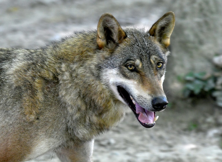 Croatian farmers say wolf attacks on livestock at plague level