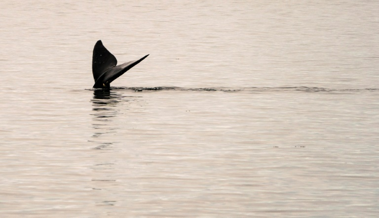A North Atlantic right whale swims in the waters of Cape Cod Bay near Provincetown, Massachusetts.
