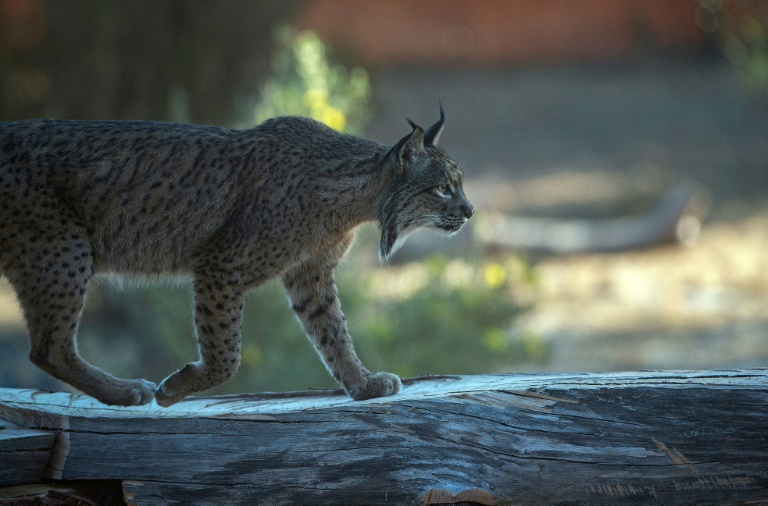 The Iberian lynx is distinguished by a white-and-black beard and black ear tufts.