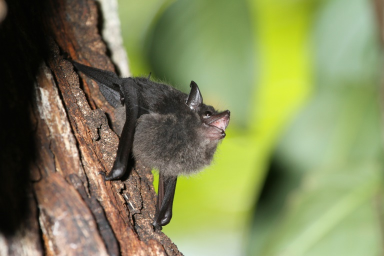Baby greater sac-winged bats learn to control their vocal system by babbling, similar to human babies, scientists found.