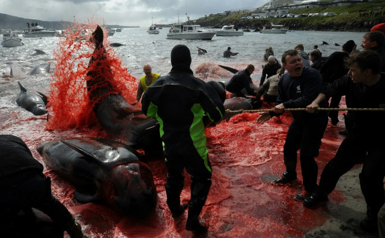 Traditionally, the Faroe Islands hunt pilot whales and not dolphins.