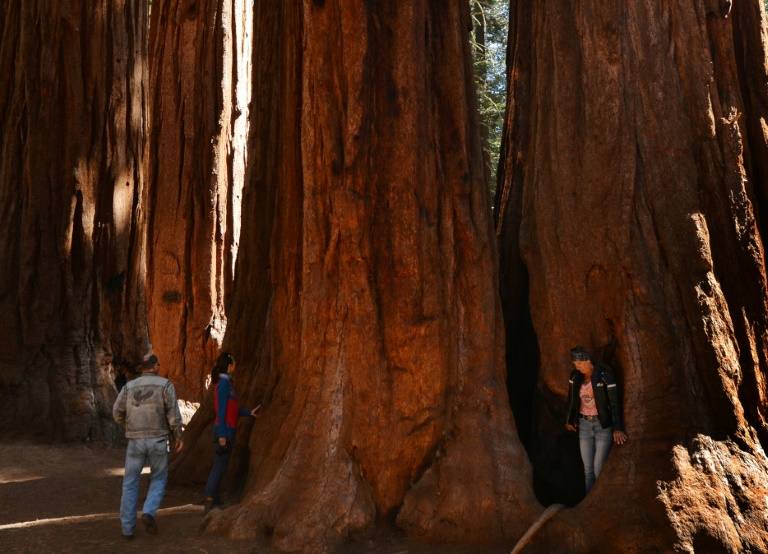 Giant sequoias wrapped in foil protection against US forest fires