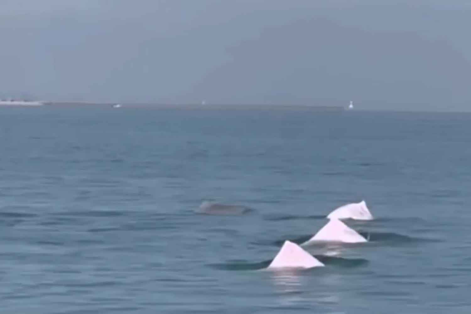 Pink dolphins spotted off Simila beach