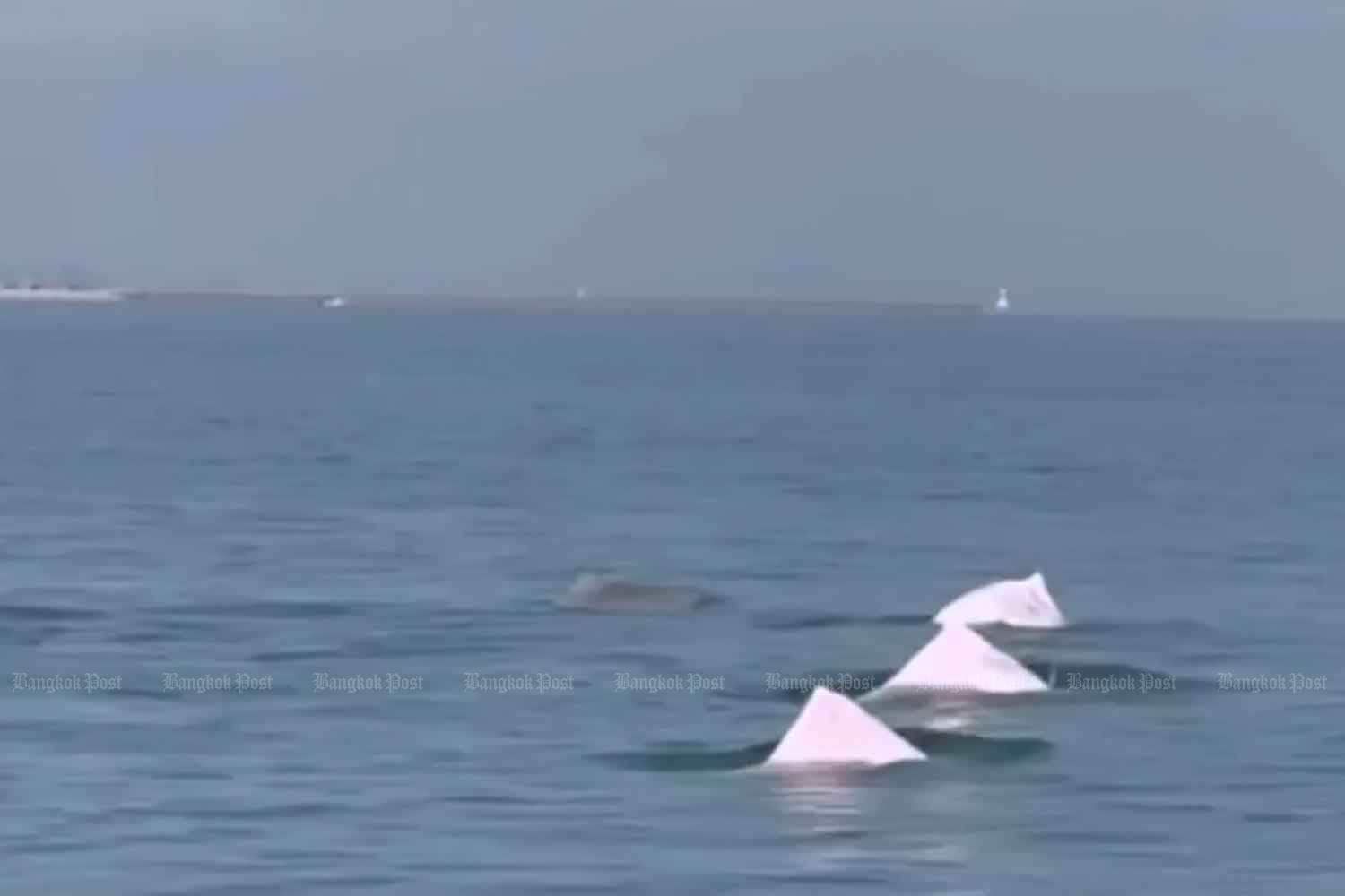 Pink dolphins spotted off Songkhla beach