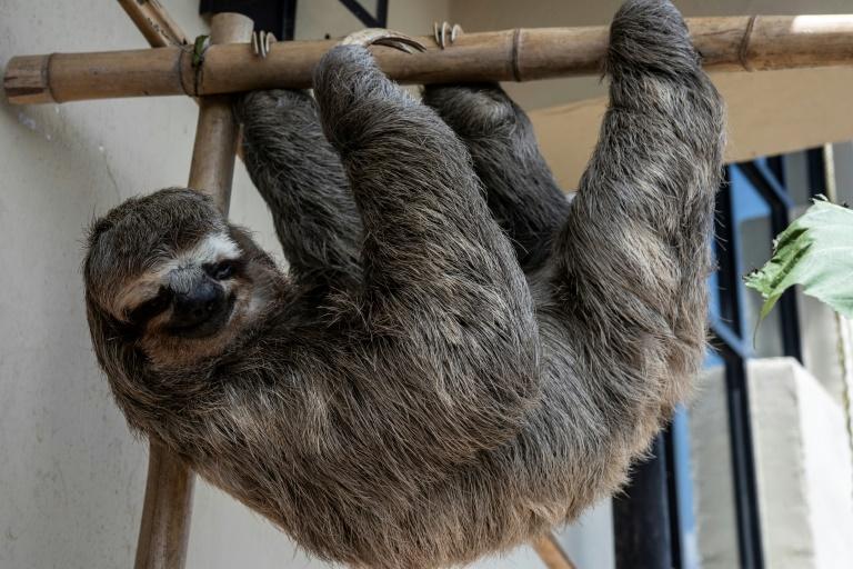 A sloth rests in a shelter in San Antonio de los Altos, a suburb of Venezuela's capital.