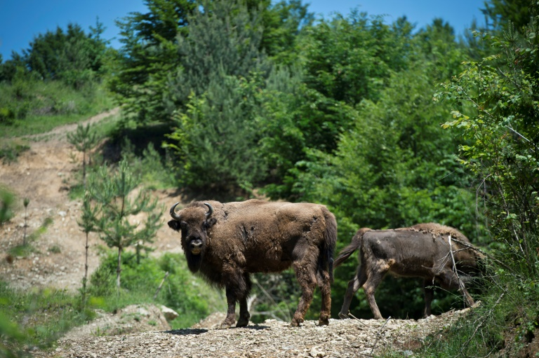 Rescued from extinction, bison rediscover Romania mountains
