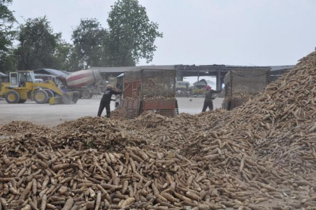 Workers load cassava at a processing plant in Nakhon Ratchasima. Measures are planned to curb the impact of falling tapioca and cassava root prices. PRASIT TUNGPRASERT