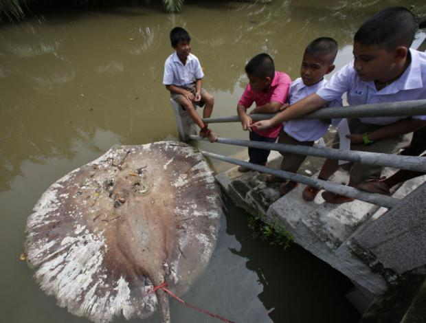Students look at a dead stingray floating in front of Wat Khu Thamsathit in Khlong Bangkantaek, which is linked to the Mae Klong River in Samut Songkhram's Muang district. A total of 15 stingrays have been found dead in the river since late last month. Authorities are scrambling to determine the cause. Pattarapong Chatpattarasill