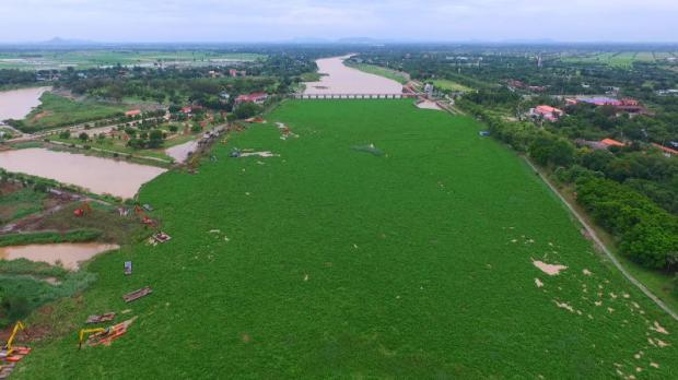 More than 55,000 tonnes of water hyacinth seen from above the Chao Phraya dam in Chai Nat province. Long clogging the nation's waterways, the aquatic plant may turn out to be a blessing in disguise for the biofuel industry.CHUDET SIHAWONG