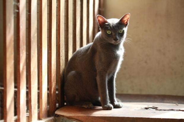 Perfect fur: One of the purebreds from Korat Cat Club's cat farm in Phimai district, Nakhon Ratchasima province, where the Korat cat originated. photos: Chumporn Sangvilert