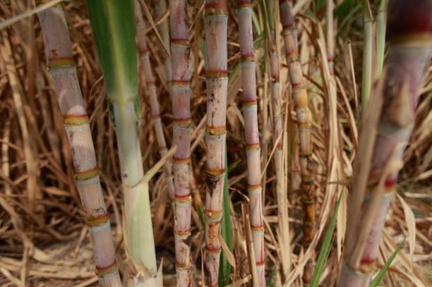 Severe drought has delayed Thailand's sugar crushing season, threatening a reduction in sugar output next year. JIRAPORN KUHAKAN