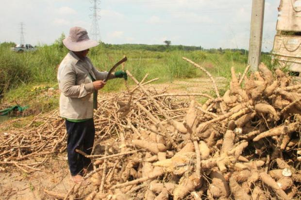 A farmer harvests cassava crop at a plantation in Chachoengsao province.SONTHANAPORN INCHAN