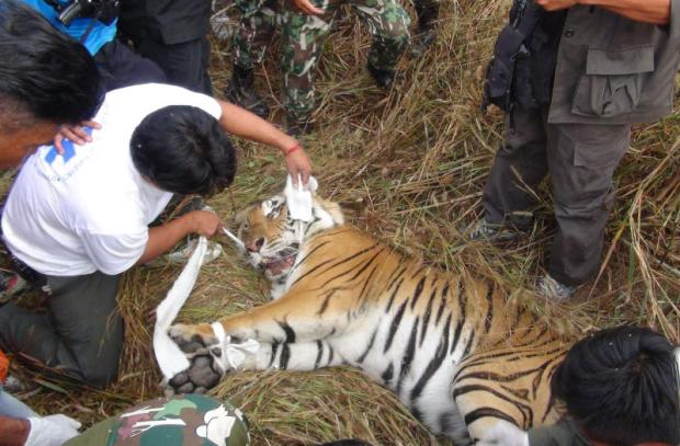 BURNING BRIGHT NO MORE: Wildlife officials fail to save the life of a wounded tiger found in a cassava plantation in Lampang.