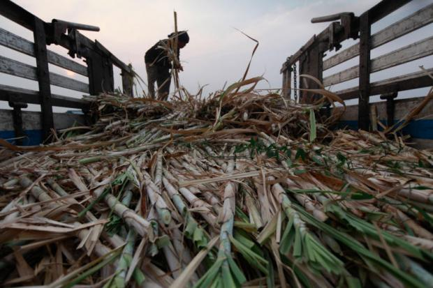 A farmer harvesting sugar cane at a field in Suphan Buri. Rain led to higher sugar yields this season.JIRAPORN KUHAKAN