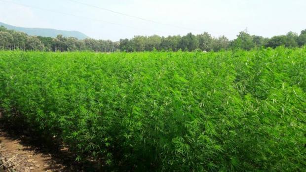 Despite its superficial resemblance to marijuana, hemp has a much lower content of a key compound, tetrahydrocannabinol.