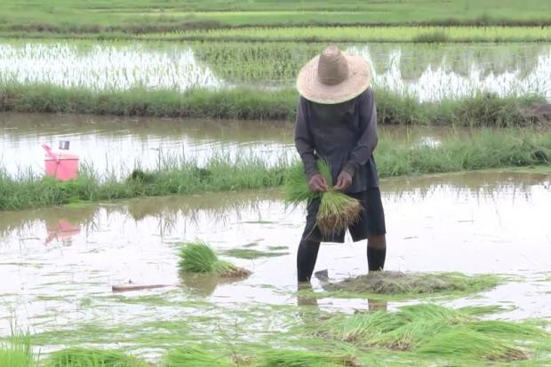A farmer in Sakon Nakhon province speeds up his rice planting efforts after sufficient rain fell in the area. PRATHUAN KAJORNWUDHINAN