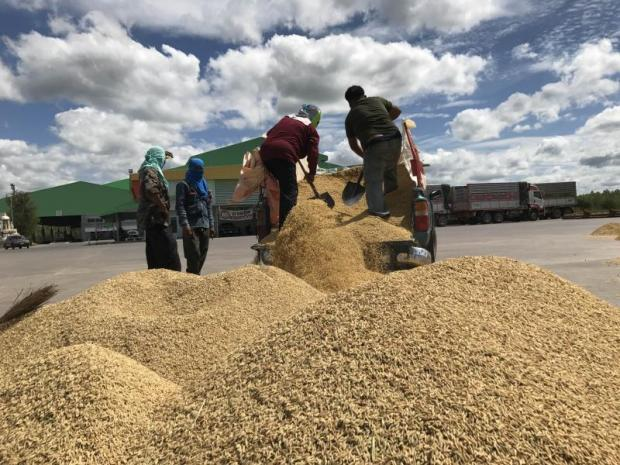 Farmers in Kalasin province unload paddy rice at a milling plant.YONGYUTH PHUPUANGPHET