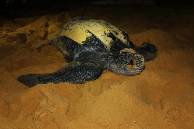 Leatherback sea turtles, known in Thai as 'Tao Mafueng', are close to extinction in the Thai sea.Photo courtesy of Baramee Temboonkiet/Greenepeace (Thailand)