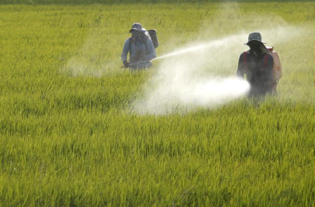 Rice farmers spray pesticide in Chachoengsao. Farm reform is a key aspect of the extra B150bn. PATTARAPONG CHATPATTARASILL