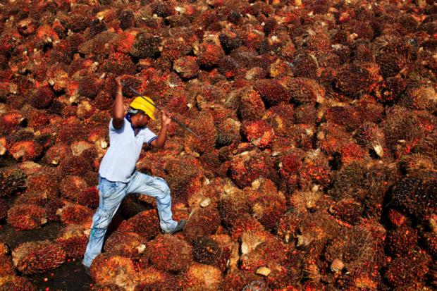 get through that lot: A worker collects palm oil fruit inside a palm oil factory in Sepang, outside Kuala Lumpur, Malaysia. (Reuters photo)