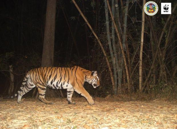 An adult tiger at Mae Wong National Park. Photo courtesy of WWF Thailand