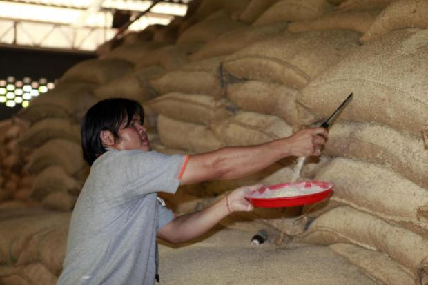 A man checks the quality of state rice stocks stored at a warehouse in Nakhon Pathom province. The latest bid drew active participation.APICHART JINAKUL