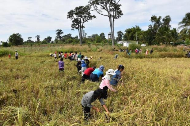 Farmers and residents in Sangkha district, Surin help harvest paddy.NOPPARAT KINGKAEW