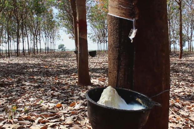 A rubber plantation in Soeng Sang district of Nakhon Ratchasima.PRASIT TANGPRASERT