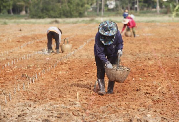 Farmers plant cassava in Nakhon Ratchasima's Phimai district. The BAAC reports that small-scale farmers owe a total 650 billion baht.PATTARAPONG CHATPATTARASILL
